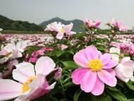 [포토] 산청 정광들에 활짝핀 작약 꽃!
