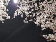 [포토] 어둠속에 비춰진 환한 벚꽃