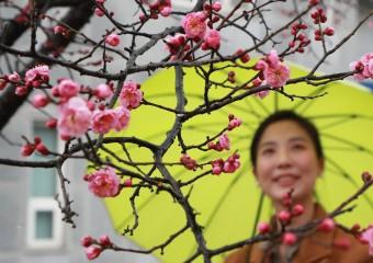 [포토] 봄비 먹은 홍매화